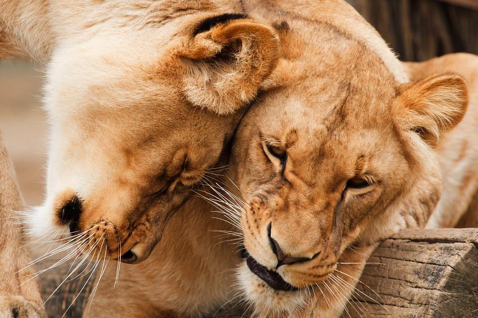 Lesbische Löwinnen